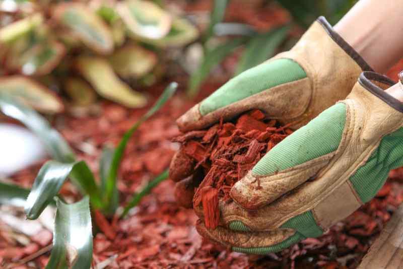 Mulching a garden with red cedar woodchip mulch. Garden maintenence in Spring.