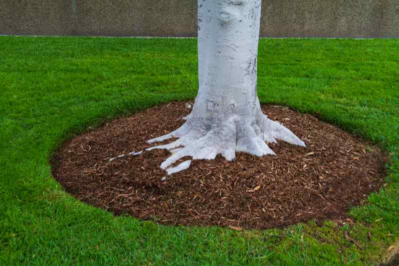 White tree trunk base with mulch and green grass